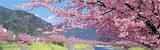 河津の桜とみなみの桜